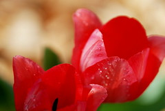 April Garden (Renee Rendler-Kaplan) Tags: red 2 two sunlight plant garden nikon mine tulips april raindrops handheld chicagoist 2016 chicagoreader twotulips nikond80 reneerendlerkaplan