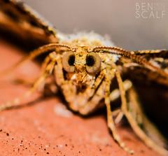 moth ( ID needed please ) - 105mm macro (ben.scalf) Tags: ohio nature bug nikon cincinnati wildlife moth science micro dslr biology 105mm d3200