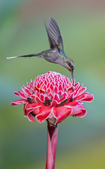 Phaethornis guy - Green Hermit - Ermitao Verde 08 (jjarango) Tags: guy verde green birding aves birdwatching hermit ermitao phaethornis avesdecolombia birdsofcolombia birdingcolombia