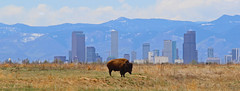 Bison (Circled Thrice) Tags: park wild urban nature animal skyscraper canon buildings landscape rockies outside mammal outdoors eos rebel buffalo colorado cityscape natural outdoor wildlife sigma denver aurora co rockymountains bison frontrange refuge nationalwildliferefuge t3i commercecity urbanpark citybuildings rockymountainarsenal