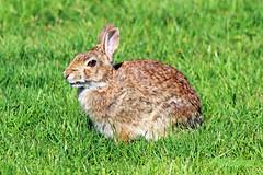Rabbit 16-0421-8923 (digitalmarbles) Tags: canada rabbit bunny nature grass animal bc britishcolumbia wildlife tan ears lowermainland deltabc wildlifephotography canonef75300mmf456usm canoneosrebelt5