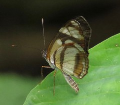 Eresia clio, Clio Crescent (Birdernaturalist) Tags: butterfly wings costarica nymphalidae nymphalinae melitaeini richhoyer