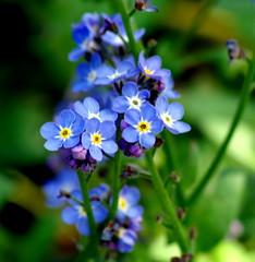 Pretty blue. (pstone646) Tags: blue plant flower colour nature petals kent flora bokeh