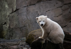 Hello, my name is Lili (Kati`s Fotografie) Tags: bear baby animal canon germany polarbear lili bremerhaven zooammeer tier eisbr norddeutschland northerngermany eisbrbaby canoneos70d