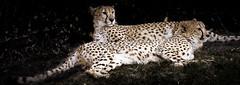 Brothers-Side-by-Side- (jhambright52) Tags: ngc npc cheetah coth twocheetahlyingsisebyside twocheetah