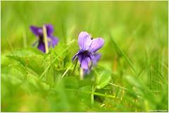Wiesenschnheit (mayflower31) Tags: flower spring wiese blume viola frhling veilchen