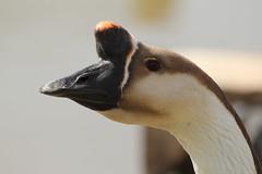 Canadian Goose (charliejb) Tags: wildlife feathers goose canadiangoose avian feathered 2013 noahsarkzoofarm