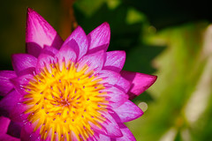 Too Beautiful to Name (Thomas Hawk) Tags: usa flower america texas waterlily unitedstates unitedstatesofamerica houston waterlillies nymphaeaceae fav10 mercerbotanicgardens