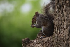 IF IT LOOKS LIKE A NUT AND SMELLS LIKE A NUT..... (Lisa Plymell) Tags: nature animal squirrel wildlife sigma150500 nikond5300