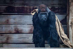 cathyb-20160428-IMG_9020.jpg (madelinefluffbum) Tags: animal zoo gorilla oz australia victoria vic downunder werribeezoo plainkeywords