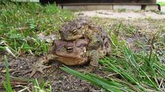 Romantic trip (mih.mih4) Tags: nature animals spring frog toad bufobufo amphibia bufonidae