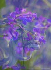 2016-04-18-_MG_1304BL (CarolesPhotoArt) Tags: bluebells blended
