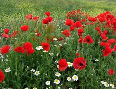 Amapolas (F. Nestares) Tags: flowers primavera amapolas