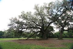 Canon206506 (godrudy6661) Tags: neworleans audubonpark treeoflife oaktrees