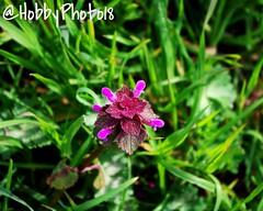 Lamier pourpre (hobbyphoto18) Tags: flowers plant flower nature plante spring pentax natureza extrieur printemps k50 lamierpourpre ortierouge pentaxk50