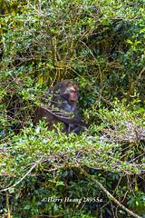 Harry_28955a,,,,,,,,,,,,, (HarryTaiwan) Tags: monkey nationalpark nikon taiwan    d800 nantou          yushannationalpark  formosanrockmonkey      harryhuang hgf78354ms35hinetnet adobergb