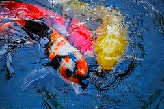 School of Japanese Koi carps (Victor Wong (sfe-co2)) Tags: red fish color nature water beautiful beauty animal swimming swim asian japanese pond asia peace symbol artistic drawing decorative traditional culture fortune exotic luck koi carp oriental prosperity