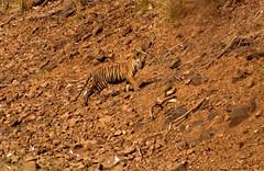 Cub of Maya (S u m a n G o s w a m i) Tags: tiger tadoba tatr 70300vr savetiger nikond7000