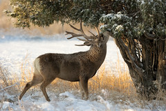 Morning Browse (OJeffrey Photography) Tags: morning snow nikon colorado wildlife deer antlers co wildanimal buck muledeer d7000 ojeffrey ojeffreyphotography