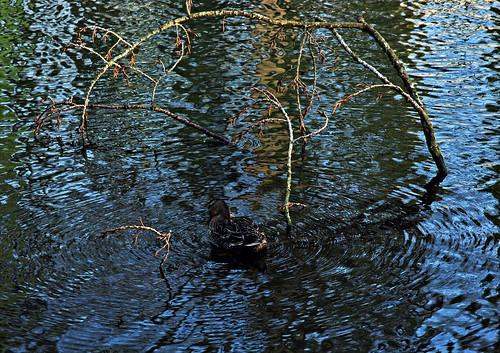 15 - Nivelles Parc de la Dodaine Canard