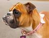 Rosie watching Brutus (Yer Photo Xpression) Tags: dog bulldog perro oldenglishbulldog canonef35350mmf3556lusm canoneos40d ronmayhew