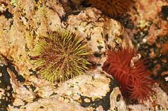 Sea Urchin in Tide Pool (Buzz Hoffman) Tags: alaska intertidal tidepool pacificcoast seaanemone seaurchin alaskamaritimenationalwildliferefuge kiskaisland aleutianislands