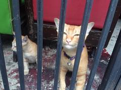 Parole Denied (jcbkk1956) Tags: cats thailand ginger bars kitten bangkok cell siamese prison thai parole ekkamai iphone5