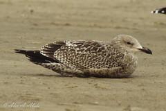 Herring Gull - 1st Year  - December (aaabela) Tags: bird december gull aves larusargentatus larus 1styear herringgull laridae charadriiformes argentatus chordata