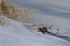 Mink-47645.jpg (Mully410 * Images) Tags: winter snow cold ice wet run mink ricecreekregionalpark ricecreeknorth