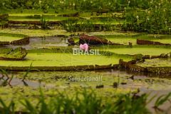 NO_Manaus0417 (Visit Brasil) Tags: travel brazil tourism horizontal brasil amazon rainforest natureza vitriargia manaus norte amazonas detalhe ecoturismo externa semgente diurna riosolimes visitbrasil