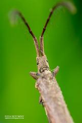 Longhorn beetle (Tetraglenes sp.) - DSC_1556 (nickybay) Tags: macro coneyisland singapore beetle longhorn cerambycidae lamiinae agapanthiini tetraglenes