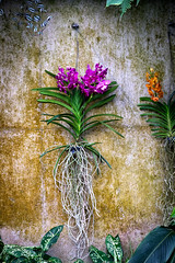 Orchid, Kew Gardens (tonybill) Tags: flowers kewgardens london kew gardens orchids places surrey glasshouse royalbotanicgardens fujifilmxe2 fujinonxf90mmf2