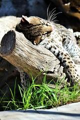 Rio (International Exotic Animal Sanctuary) Tags: bear brown white mountain black animal tiger tail lion ring international exotic american lemur grizzly puma cougar bengal sanctuary ocelot enrichment ieas