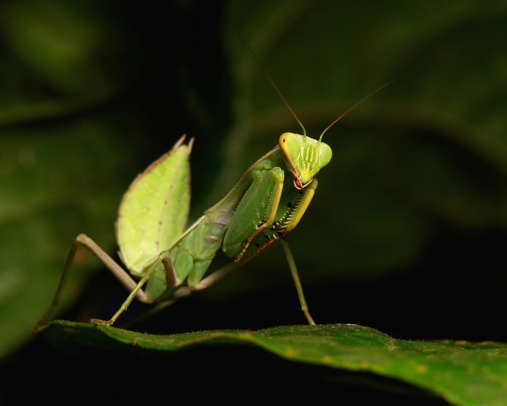 The World's Best Photos of china and mantidae - Flickr ...