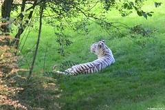 Tigre blanc (Johanna Viala) Tags: zoo animaux tigre cerza tigreblanc