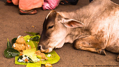 Cow consuming temple offerings (prasad) (Amla J.) Tags: india temple cow feeding wheat religion culture health sweets tradition hinduism prasad puri offerings indiancow jagannathtemple amlaphotography