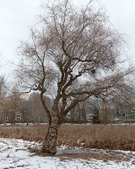"""Salix babylonica """"Tortuosa"""" (Plant Image Library) Tags: trees winter plants plant ecology massachusetts profile january newengland dragons willow mature claw bark deciduous botany dormant phenology salix tortuosa babylonica arboldarboretum"""