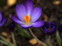 Feb 2016 Spring flowers 166 (saxonfenken) Tags: orange flower crocus pollen perpetual 8995 puplr challengeyou challengeyouwinner friendlychallenges thechallengefactory gamesweep pregamesweep gamesweepwinner feb2016 8995crocus febspringflowers