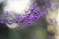 Purple Beautyberries (Mah Nava) Tags: autumn berry berries purple herbst beeren callicarpa beautyberries purplebeautyberries lokischmidtgarten