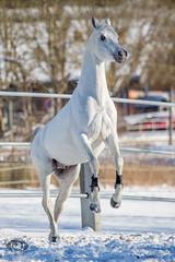 Said_20164527 (OliverSeitz) Tags: said pferd pamir schimmel hengst arabianhorses sadana i vollblutaraber hauptundlandgesttmarbach arabischepferde oliverseitz oliseitzde