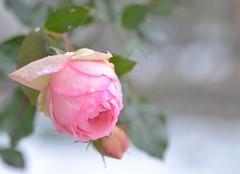 rose in the snow (snowshoe hare*(slow)) Tags: flowers winter snow rose backyard 雪 バラ pierrederonsard dsc0257 裏庭 ピエール・ド・ロンサール