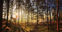 เมื่อเช้าที่ม่อนสน.... คนเฉียดร้อย......... หลบมายืนในป่าสน....เงียบๆๆ #thailand #angkang #monson #sunrise #pineforest