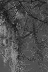 hanging moss, branches, Atlantic Center, New Smyrna Beach, Florida, Nikon D40, Nikon Nikkor 55mm f-3.5, 2.8.16 (steve aimone) Tags: blackandwhite sunlight monochrome moss florida branches hanging newsmyrnabeach primelens atlanticcenterforthearts nikond40 nikonprime nikonnikkor55mmf35