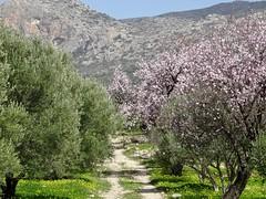 Could it be the road to Nangijala? (Ia Löfquist) Tags: road walking hiking walk kreta hike crete vandring olivetree väg almondtree kalamafka olivträd mandelträd vandra ierapeyra