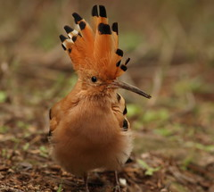 Crested (Andrewsteeleuk) Tags: barcelona orange white black green bird nature grass animal yellow canon grey amber spain wildlife unescoworldheritagesite soil dslr upupaepops hoopoe catalan parkgell canonef400mmf56lusm october2015 autumn2015 eos7dmarkii