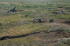 Penguins, Isla Magdalena (silkylemur) Tags: ocean chile cruise sea patagonia seascape southamerica pinguinos canon lens landscape tierradelfuego penguins ship fullframe canoneos ona zoomlens endoftheworld beaglechannel chilena puntaarenas findelmundo islamagdalena landscapephotography magellanicpenguins llens 24105mm canonef canonef24105mmf4l canonef24105mmf4lisusm  magdalenaisland eflens patagoniachilena selknam canonef24105mmf4lisusmlens efmount chileanpatagonia regindemagallanesydelaantrticachilena canoneos6d fuegian regindemagallanesydelaan