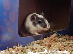 DSCN9781 Alice (therovingeye) Tags: pets animals gerbil rodents gerbilhabitat