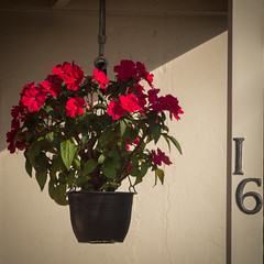 Pot plant (Mariasme) Tags: flowers red diagonal number potplant