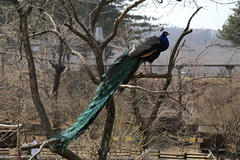 150327_1307 (Gordon C ) Tags: zoo korea seoul seoulgrandpark  seoulzoo