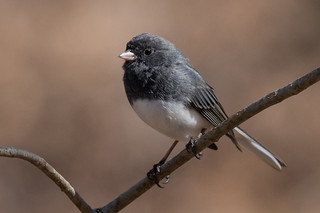 Dark-eyed Junco, York County, PA [Explore 20 March 2016]